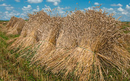 Sheaves of Wheat Stock Images