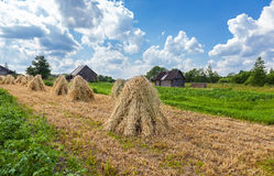 Sheaves of wheat piled in stacks on the field Stock Photo