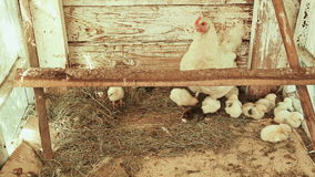 Shed with chicken and chicks stock video footage