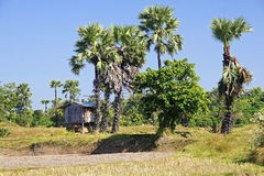 Shed in a field of palm trees Royalty Free Stock Photo