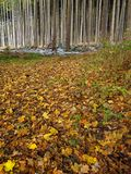 Shed leaves soppy on forest floor at fall. Autumnal scenery with shed leaves covering the forest floor. Nature in Germany by seasonal change from fall to winter Stock Photography