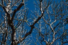 Shed leaves. The tree shed leaves with blue sky background Royalty Free Stock Images