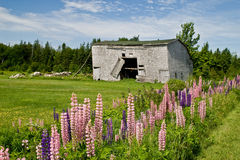 Shed and Lupins Stock Photography