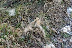 Shed patches of deer fur. Shed patch of roe deer`s summer fur frozen, fallen onto the ground Royalty Free Stock Images