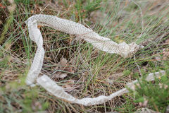 Shed snake dry skin in nature Royalty Free Stock Image