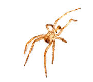 Shed spider skin, exoskeleton over white Royalty Free Stock Photography