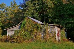 Shed Surrounded by Vines. An old weathered storage shed is surrounded by the autumn colored plants and vines Stock Images