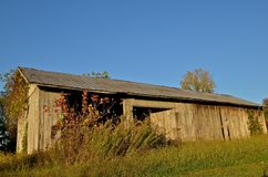 Shed Surrounded with Vines. An old weathered wood shed is surrounded with vines of the autumn colors Stock Images