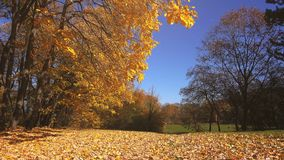 Shedding autumn leaves falling in park stock video