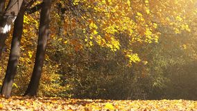 Shedding autumn leaves falling in park stock video footage