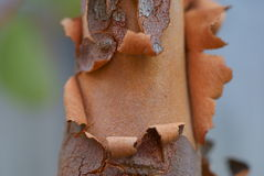 Bark peeling of eucalyptus tree Stock Photo