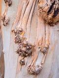 Shedding bark Royalty Free Stock Photo