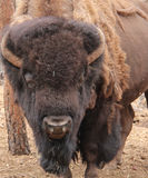Shedding Bison. Buffalo looking at you with body shedding Stock Photography