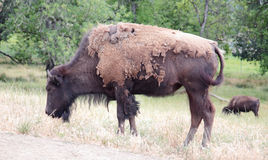 Shedding Bison Grazing Stock Image