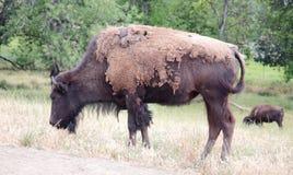 Shedding Bison Grazing Stock Image