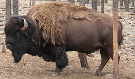 Shedding Bison. Large standing Bison by a tree Stock Images