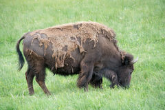 Shedding Bison. Most of the bison at Yellowstone National park were shedding their thicker winter coats in early June and that is when I got this shot. I looked Royalty Free Stock Images