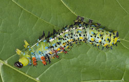 Shedding Cecropia Caterpillar Stock Image