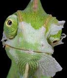 Shedding Chameleon Stock Image