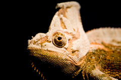 Shedding Chameleon. A yemen or veiled chameleon in a shedding stage Stock Images