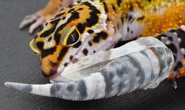Shedding Leopard gecko pulling the skin off of his tail. This is a close up picture of a Leopard gecko pulling the skin off of his tail as he sheds. Eublepharis stock images