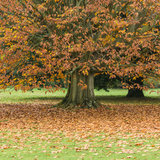 Shedding The Load. An autumn leaved coloured tree sheds its leaf load onto a lawn royalty free stock photo