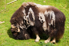 Shedding muskox in the sun Stock Image
