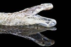 Shedding snake skin, head shot,isolated on black. Shedding snake skin with reflection, head shot,isolated on black background stock image