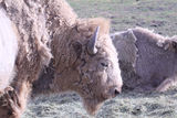Shedding White Bison. In Hay on the ground Royalty Free Stock Image