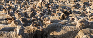 Sheeo herd Royalty Free Stock Photos
