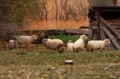 Sheep近被污染的湖 免版税库存照片