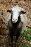 Sheep in Sumava Royalty Free Stock Image