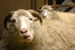 Sheep 1. A portrait of a sheep stock photography
