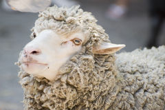 Sheep. Muzzle of sheep of farmer zoon by very CU royalty free stock photo