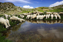 Sheep. On the Bistra mountain drinking water on the glacier lake Royalty Free Stock Image