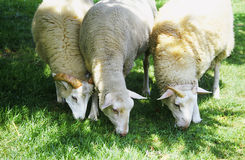 Sheep. Three sheep grazing on the grass stock images