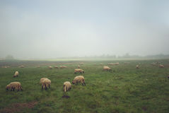 Sheep. Herd on the misty morning Royalty Free Stock Photo