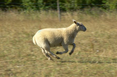 Sheep. A Sheep running and jumping Stock Photography