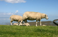 Sheep. Walking and grazing at the borders of the wadden sea in Friesland(Holland Stock Photo