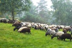 Sheep. Royalty Free Stock Photography