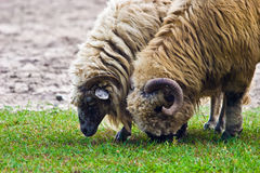 Sheep. Grazing on pasture on a sunny day stock photos