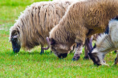 Sheep. Grazing on pasture on a sunny day stock image