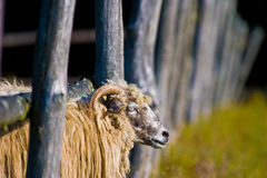 Sheep. Grazing on pasture on a sunny day royalty free stock photo