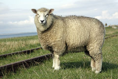 Sheep. An adult wool sheep standing close to a railway on a field outdoors Stock Images