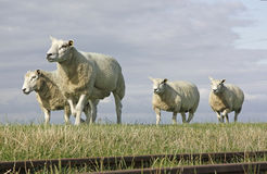 Sheep. A flock of four wool sheep walking on a field Stock Photo