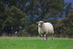 Sheep. A sheeps standing on the meadow at ease in Scotland Stock Photography