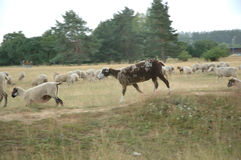 Sheep. A sheep runs on the field Stock Photography