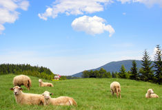 Sheep. On green grass with beautiful clouds and blue sky above Royalty Free Stock Image