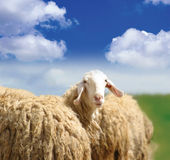 SHEEP. White woolly sheep looking into camera royalty free stock image