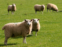 Sheep. Farm sheep Stock Photography